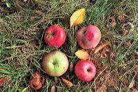 Herbst, bunte Jahreszeit mit Herbstlaub ,Weintrauben, Kastanien, Kürbisse, Nüssen, Eicheln, und vielen mehr!,...