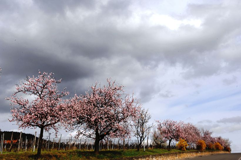 Mandelblüte Mandelbaum Mandelblütenfest Ziermandel, Kreuzung aus Bittermandel und Pfirsich. Perle der Weinstrasse in Neustadt Ortsteil Gimmeldingen