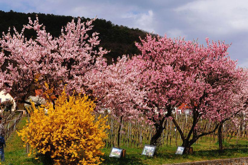 Mandelblüte Mandelbaum Mandelblütenfest Ziermandel, Kreuzung aus Bittermandel und Pfirsich. Perle der Weinstrasse in Gimmeldingen