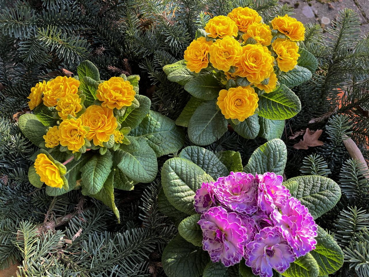 Spring is in the air. Die Primel Schlüsselblume Himmelsschlüssel Frühlingsblumen
