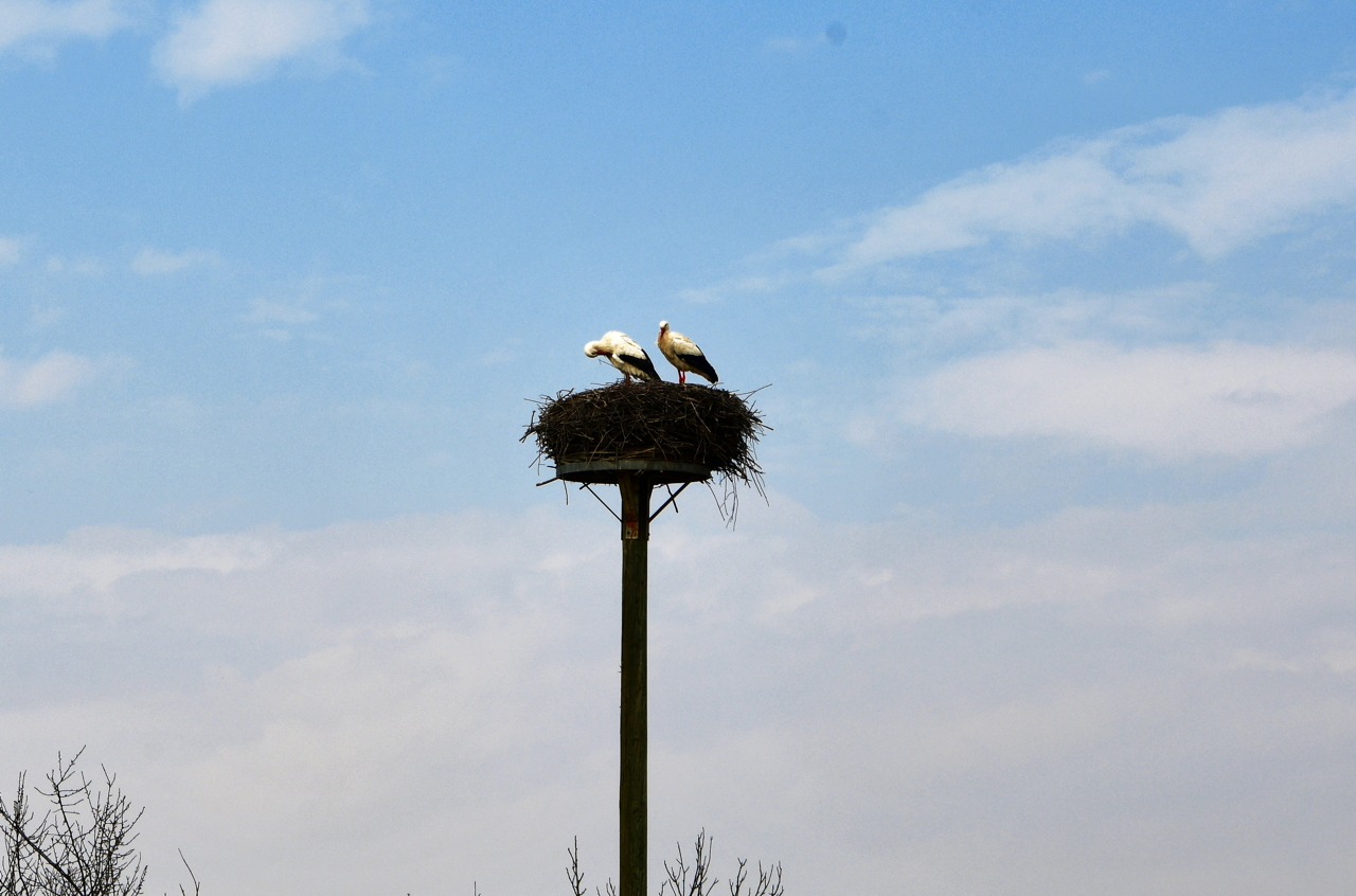 Storchennest in Mörfelden-Wallddorf Ortsgruppe Nabu Mörfelden Weißstorch Adebar der Kinderbringer